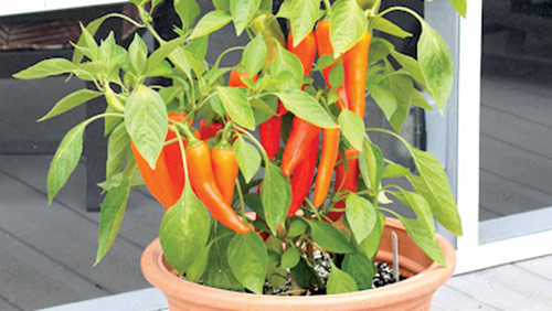 8803-Potted-Chili-Pepper