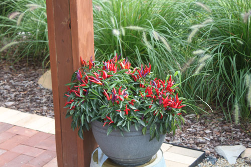 8804-Potted-Chili-Pepper