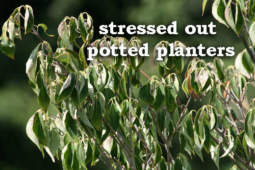 8815-Stressed-Out-Potted