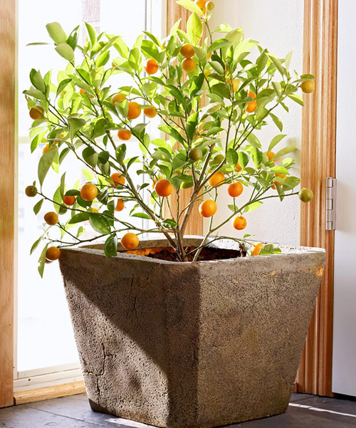 8822-Citrus-Plants-In-Ga