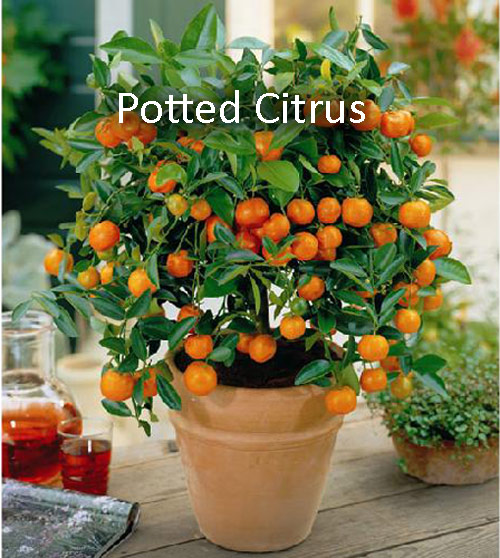 8823-Potted-Citrus