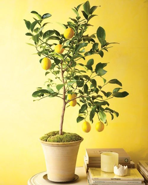 8824-Potted-Citrus