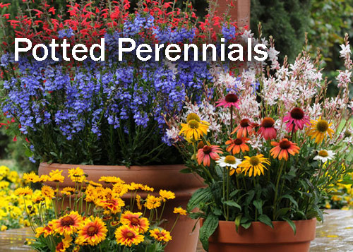 8834-Potted-Perennials