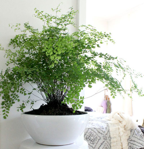 8845-Healing-Potted-Fern