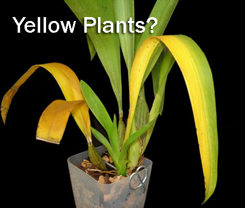 8850-Yellow-House-Plants