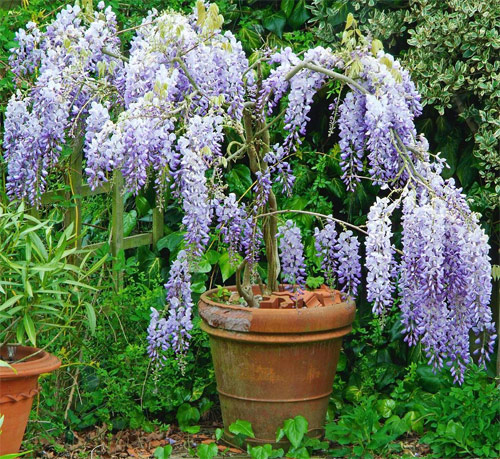 8871-Wisteria-Potted