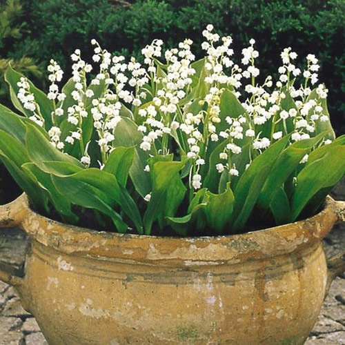 8872-Lily-Of-The-Valley