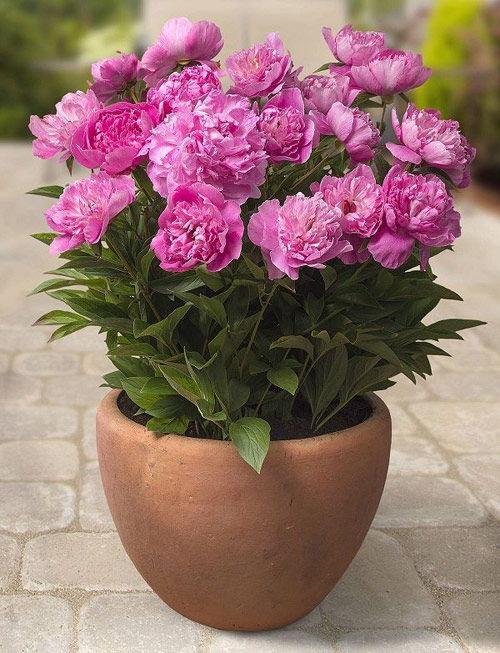 8906-Potted-Peonie-Plant