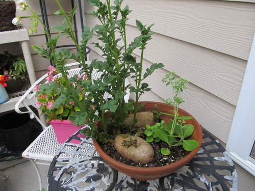 8922-Potatoes-In-Planter