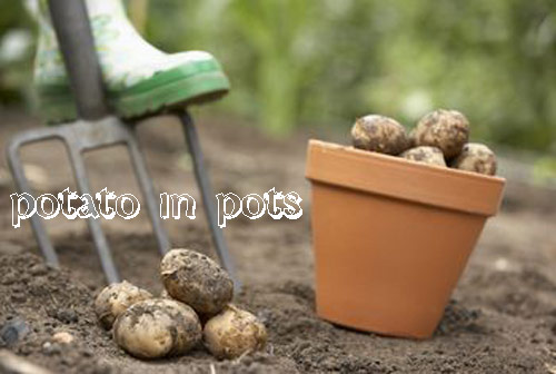 8924-Potato-In-Pots