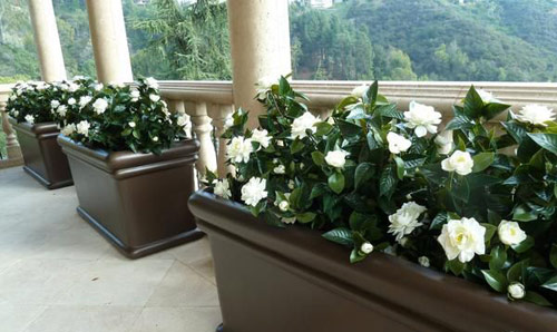 8954-Potted-Gardenias