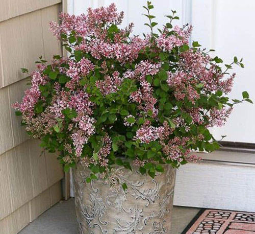 8956-Potted-Lilac