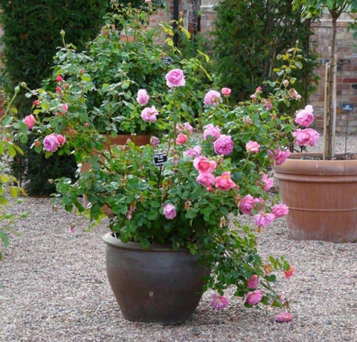 8957-Potted-Roses