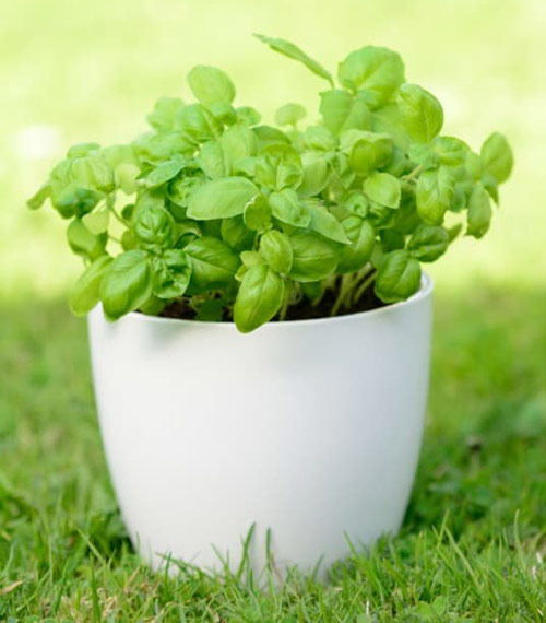 9202-Grown-Basil