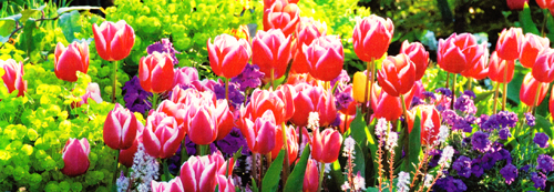13202 Colored-Tulips