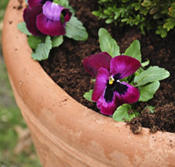 16113-Potted-Pansies-Arizona-Pottery