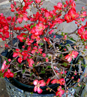 16115-Potted-Flowering-Quince-Arizona-Pottery