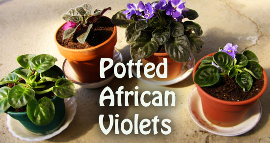16119-Potted-African-Violets-Arizona-Pottery