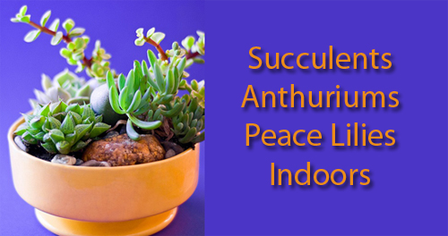 16161-Succulents-Anthurums-Peace-Lillies-Indoors-Arizonan-Pottery
