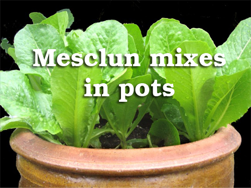 18962-Mesculin-Mixes-In-Pots-Title