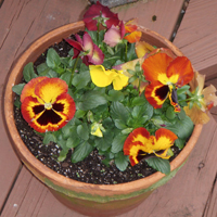 30037-Potted-Pansy