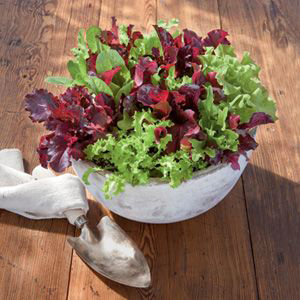 30042-Potted-Lettuce