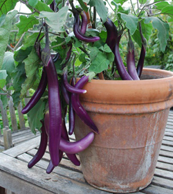 31356-Summer-Veg-In-Pots-Eggplant